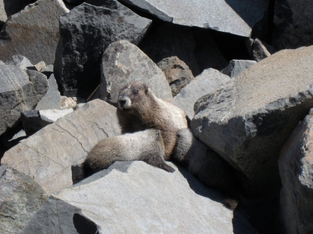 A mommy marmot nursing her young on Mt. Rainier last summer.