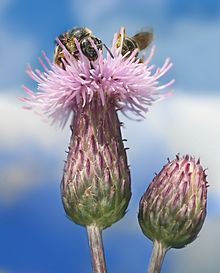 Weeds, Cirsium_arvense_with_Bees_Richard_Bartz