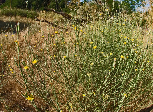 Weeds, skeletonweed, large grouping, Idaho Weed Awareness