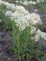 Weeds, white top, wiki