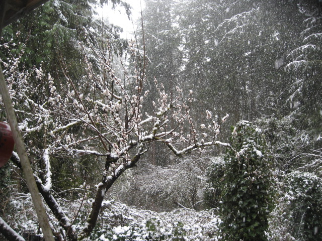 Covid, Snow, on appricot, best